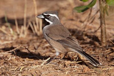 Black-throated Sparrow - 1