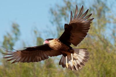 Crested Caracara - juvenile in flight