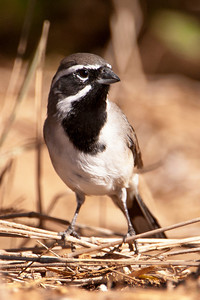 Black-throated Sparrow - 2