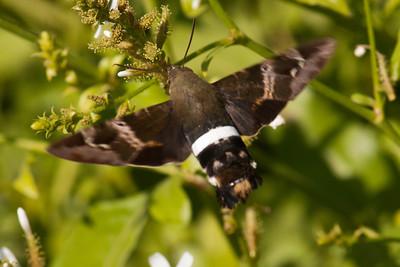 Hummingbird Moth - 03 - National Butterfly Center - Mission, TX