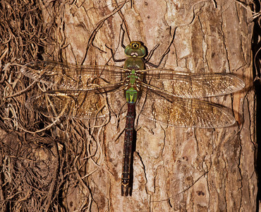 Common Green Darner Dragonfly -Santa Ana NWR-TX