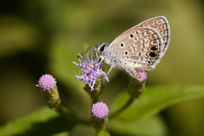 Butterfly - Blue species - Edinburg, TX