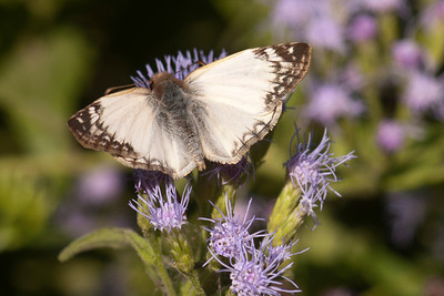 Laviana White-Skipper - 01 - National Butterfly Center - Mission, TX
