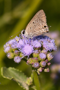 Butterfly - Blue species - National Butterfly Center - Mission, TX
