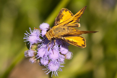 Fiery Skipper - National Butterfly Center - Mission, TX