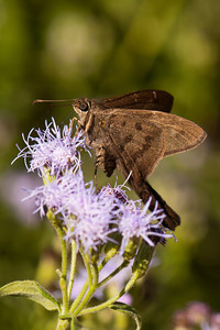Brown Longtail Butterfly - National Butterfly Center - Mission, TX