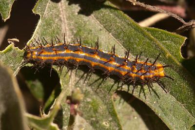 Gulf Fritillary Caterpillar - National Butterfly Center - Mission, TX