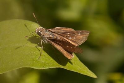 Celia's Roadside Skipper - National Butterfly Center - Mission, TX