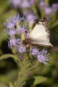 Laviana White-Skipper - 02 - National Butterfly Center - Mission, TX