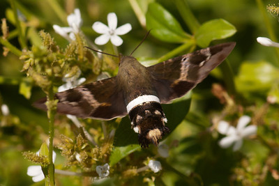 Hummingbird Moth - 02 - National Butterfly Center - Mission, TX