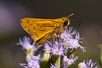 Fiery Skipper - Edinburg, TX
