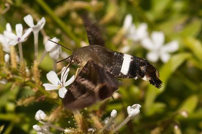 Hummingbird Moth - 01 - National Butterfly Center - Mission, TX