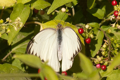 Great Southern White Butterfly - National Butterfly Center - Mission, TX