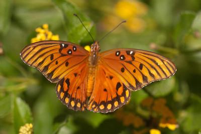 Gulf Fritillary Butterfly - 02 - Edinburg, TX