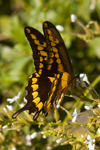 Giant Swallowtail - National Butterfly Center - Mission, TX