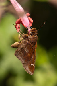 Clouded Skipper - National Butterfly Center - Mission, TX