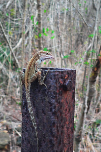 A Lizard on the Trail