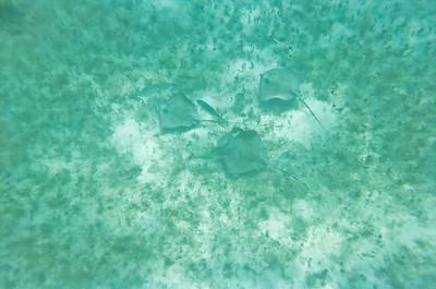 Stingrays at Salt Pond