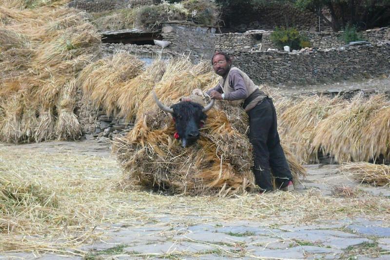 yak transportation (Lhasa - Gyangtse)