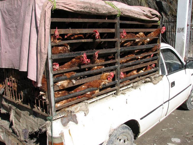 chicken-transport