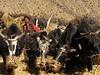 threshing with yaks (near Kharta)
