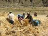 to thresh the barley (Lhasa - Gyangtse)