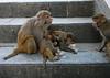 monkeys (Kathmandu)