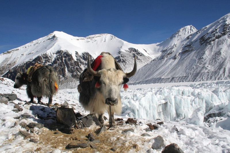 highest point of the yaks. (Eastern Rongbukglacier)