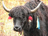 yak (Kangchungtrek)