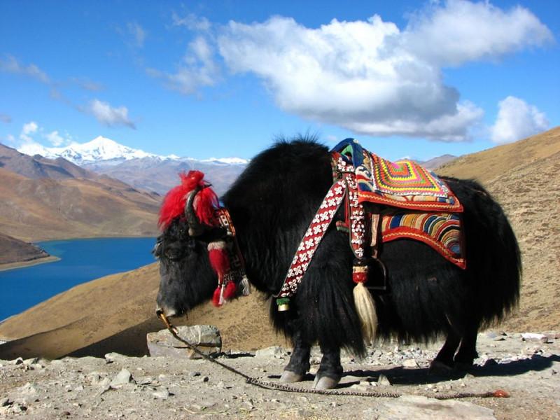 Yak (Lhasa - Gyangtse)