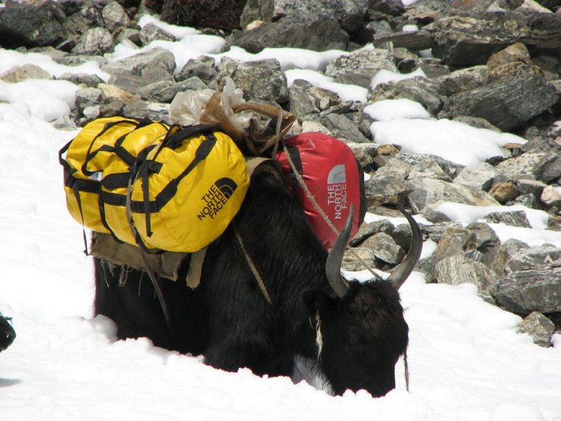 our prived yak (Langma-La  5356m.)