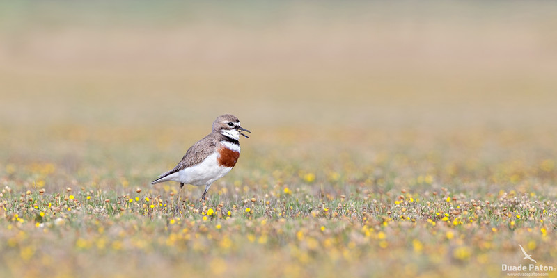 Double-banded Plover - Breeding Plumage