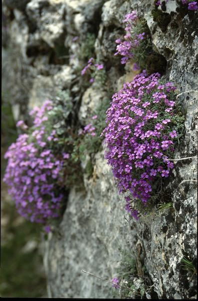 Aubrieta canescens cushions (Taurus mountains)