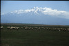 herd of sheep with the vulcano Erciyes Dagi 3917m. (Konya plain)