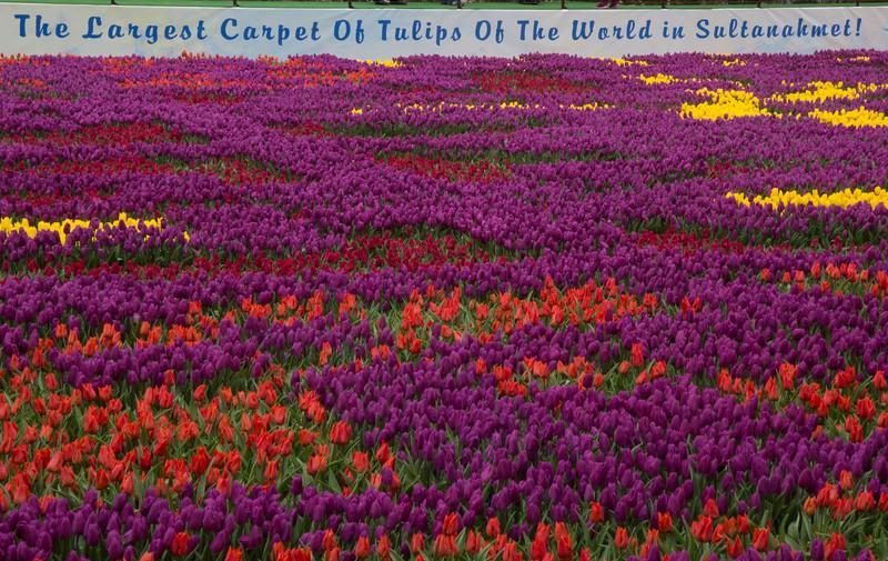 Carpet of tulips