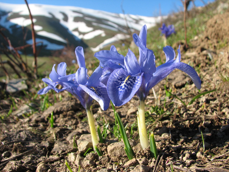 Iris histrio (Sogani Gecidi pass 2230m.)
