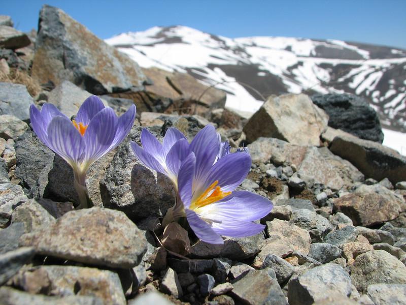 Crocus aerius (mountains near Bayburt, North East Turkey spring 2007)