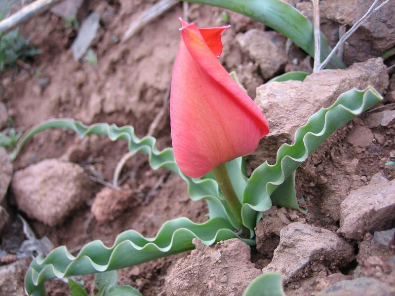 Tulipa sintenisii, T.cf.undulatifolia.Erzurum (North East Turkey spring 2007)
