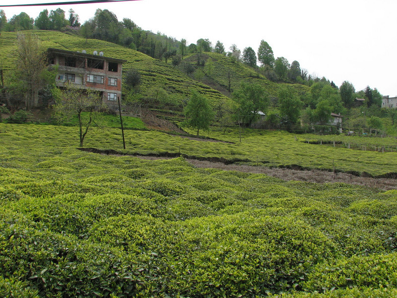 Tea plantation (Rize by the Black See coast)