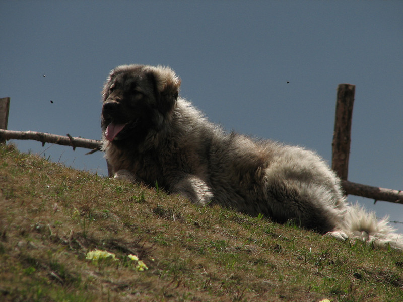 big Turkey sheep dog (North East Turkey spring 2007)