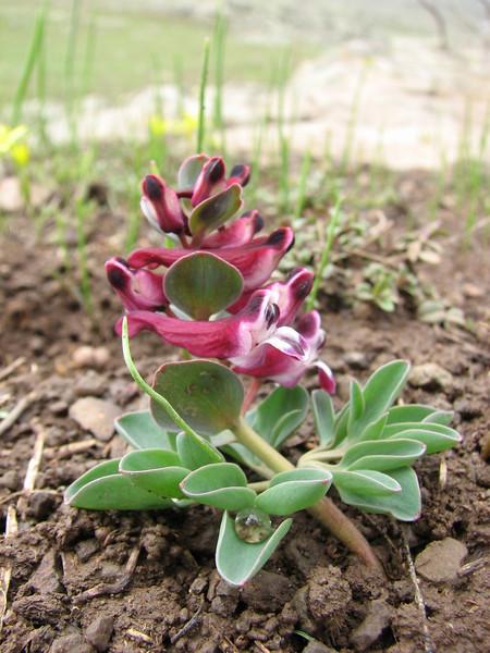 Corydalis erdelii (North East Turkey spring 2007)