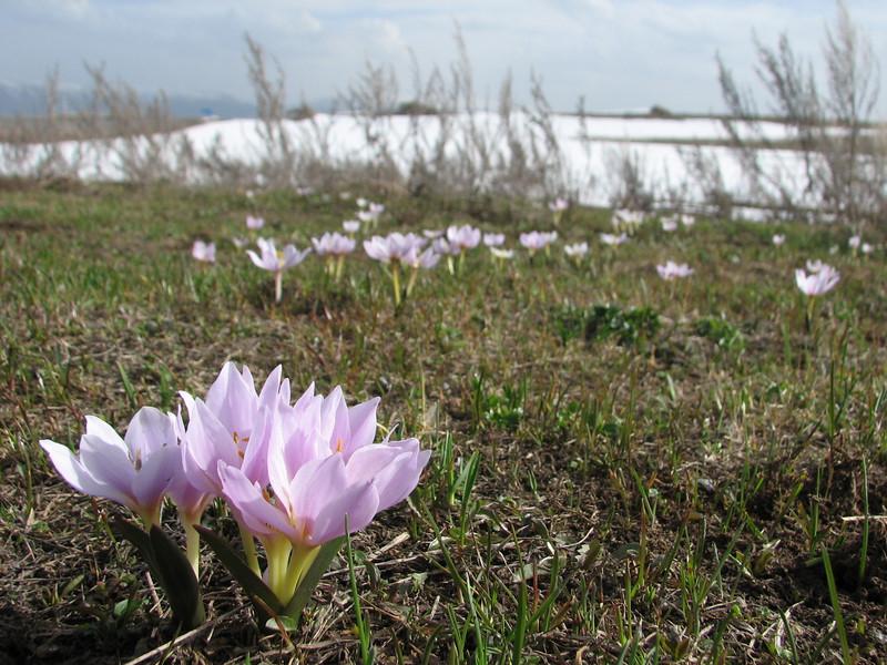 Merendera trigyna (North East Turkey spring 2007)