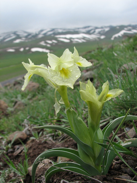 Iris caucasica (North East Turkey spring 2007)