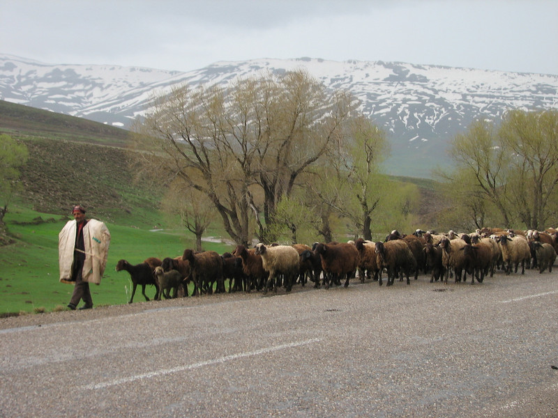 herdsman with herd of sheep (North East Turkey spring 2007)
