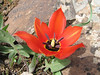 Close up, national flower, Tulipa armena (North East Turkey spring 2007)