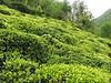 Tea plantation (village near Rize)