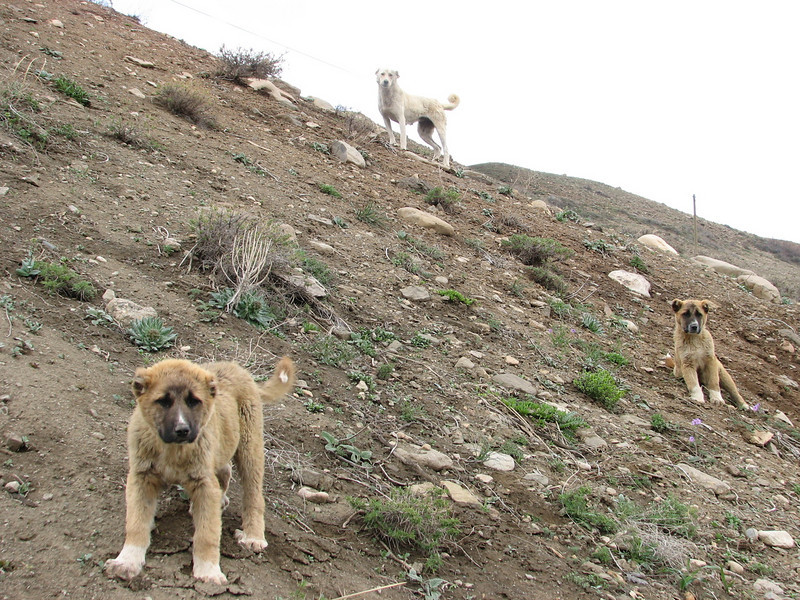 Pups of the Turkish Sheep Dog (North East Turkey spring 2007)