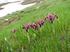Iris reticulata (North East Turkey spring 2007)