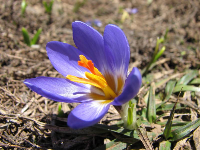 Crocus aerius (North East Turkey spring 2007)