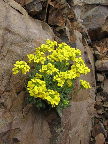 Allysum lepidotum (North East Turkey spring 2007)